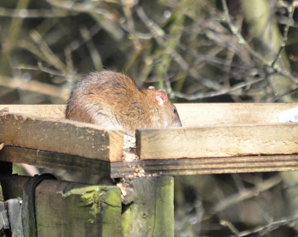 Rat Wokingham March 2011