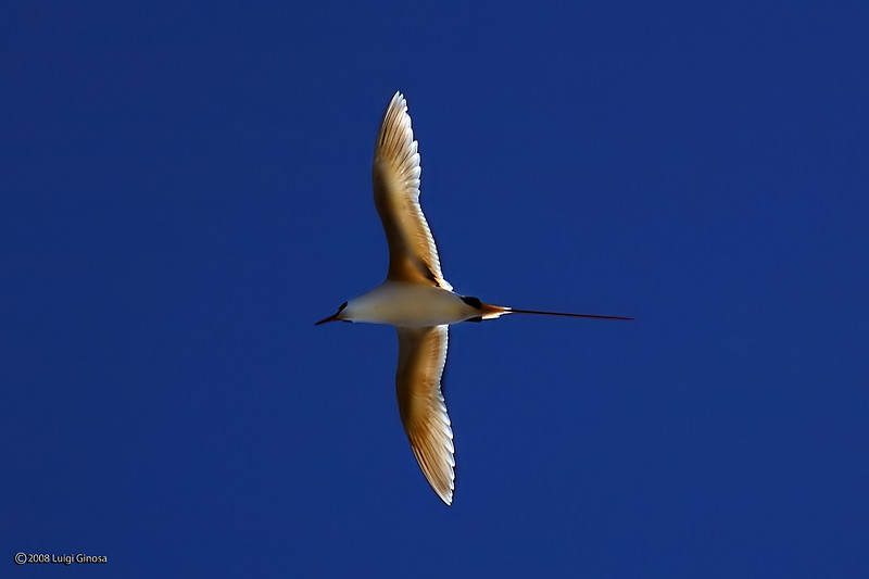 Red-tailed Tropicbird in Kauai, Hawaii