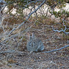 This desert rabbit was a daily visitor at Rock Haven Cabin