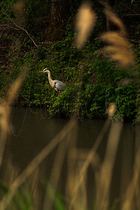 Spotting a Heron Through the Reeds