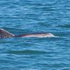 DSC02093 Dolphin at Chincoteague 2012
