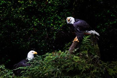 Bald eagles dispute