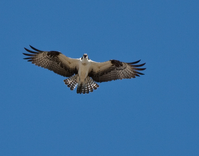 This Osprey was enjoying the soccer game