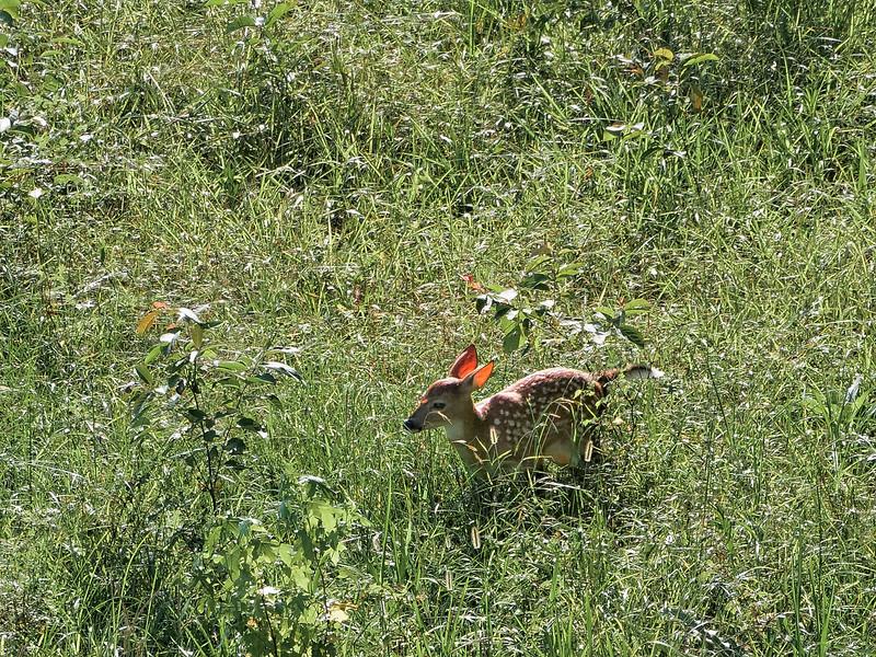 Fawn on Paynes Prairie