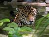 Jaguar Cooling in a Pond