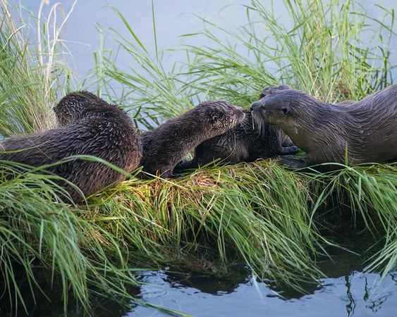 River Otters, Yellowstone