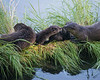 River Otters, Yellowstone