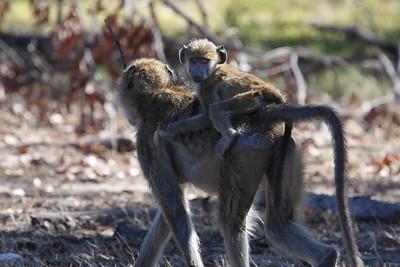 Baboon mother and baby Linyanti Swamp, Botswana