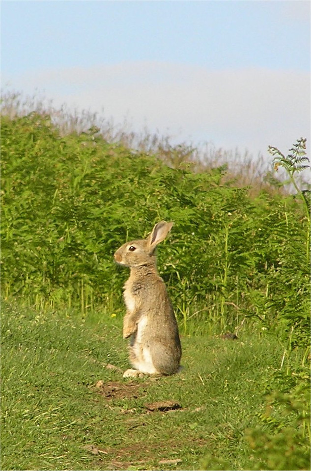 lakedistrict_rabbit_June2005