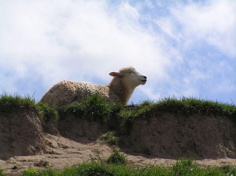 symondsyat_sheep_June2005
