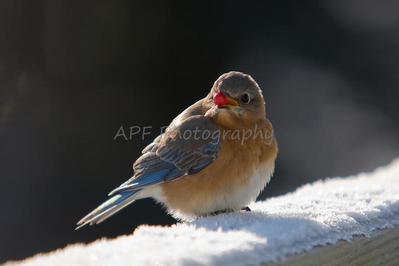 Female Eastern Bluebird with Winterberry