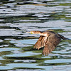 Double-crested Cormorant at Rodman Resrvoir