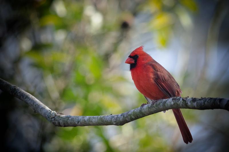 Male Cardinal in Jacksonville Beach