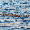 Formation of Ducks