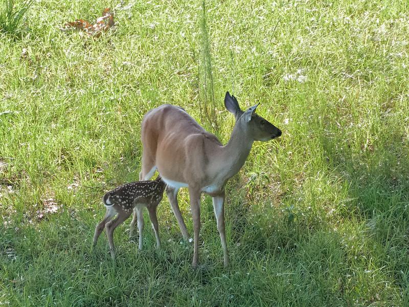 White-Tailed Deer Doe Nursing Fawn