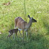 White-Tailed Deer Doe Nursing Fawn