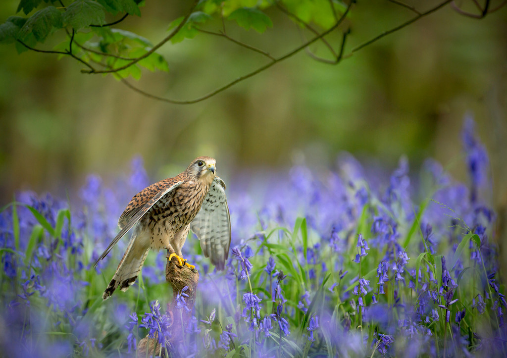http://www.clickonthewildside.com/Nature/Wildlife/i-53vSkLC/0/XL/Kestel%20bluebells%202%20%20-XL.jpg