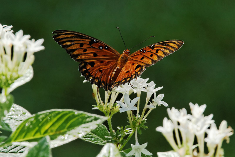 Gulf Fritillary Butterfly - Alfred B. Maclay Gardens State Park, Florida