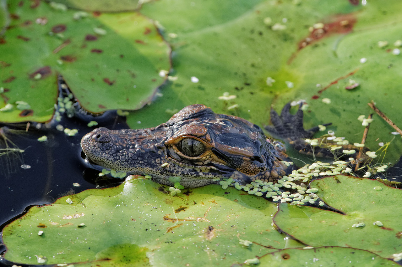 Juvenile alligator pops his head up between the lilypads