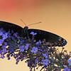 butterfly head on