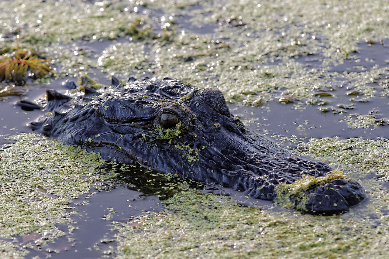 Male alligator covered in pond weeds