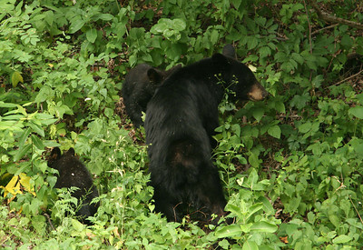 Eastern black bear with cubs in Shenandoah National Park.