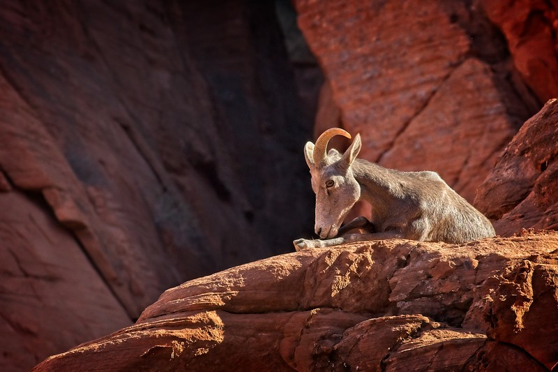 Desert bighorn sheep in valley of fire state park Nevada