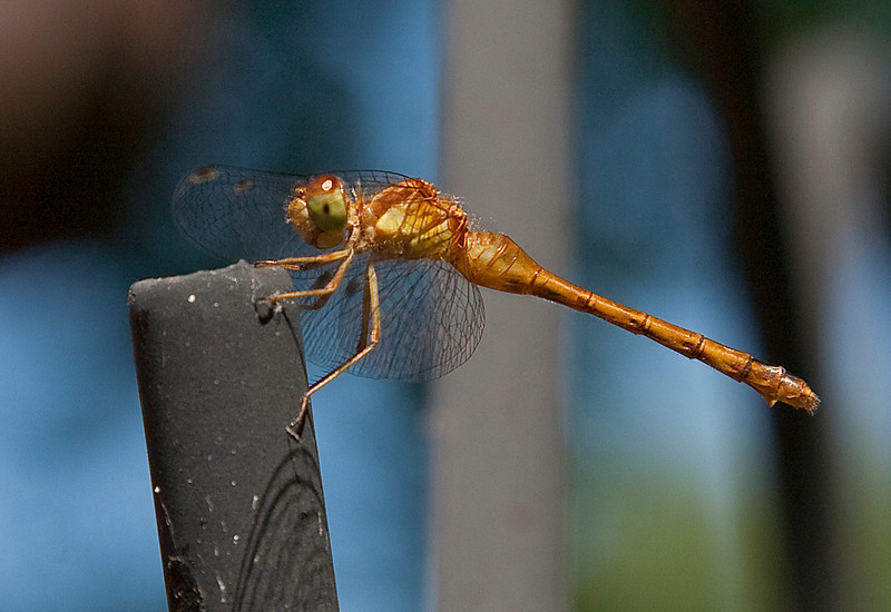 Dragonfly in our back yard