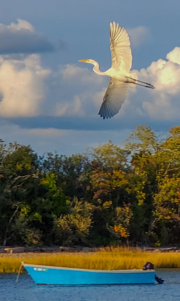 Great White Heron Over the Cove
