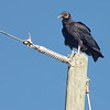 Black Vulture at Folly Beach