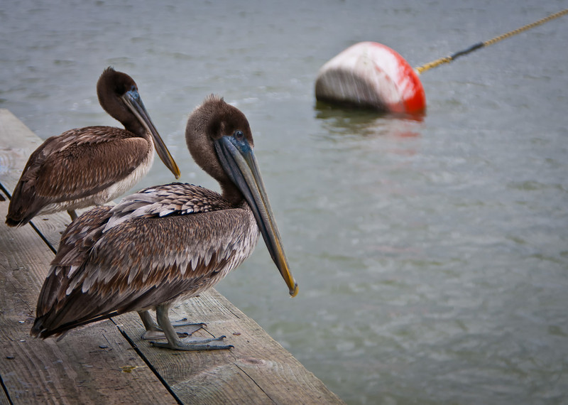 The local Brown Pelican, posing for a picture, but really hoping for a free fish handout.