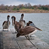Pelicans trying to stay warm on a blustery winter morning in Lake Charles, Louisiana.