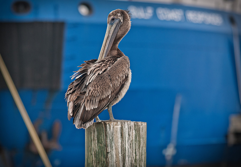 The Brown Pelican, Louisiana's state bird, perched on a pylon near the local docks where the fisherman will clean their catch.