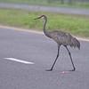 Sandhill Crane on the highway