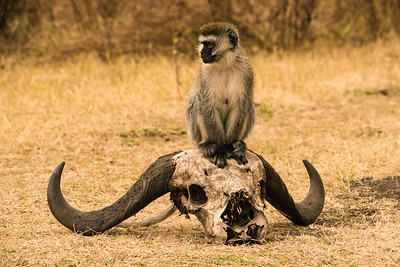 Vervet Monkey on Cape Buffaol Skull