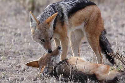 Black-backed jackals Central Kalahari, Botswana
