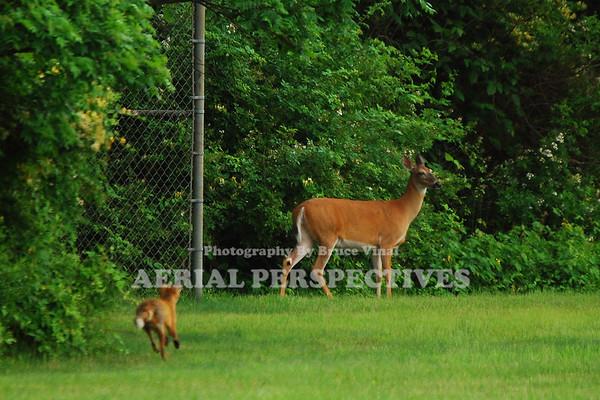 Fox meets Deer