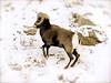 Mountain sheep on Loveland Pass