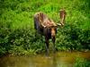 A thirsty bull moose, Snowy Range, WY