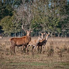 Elk herd on the beautiful Rhodes Ranch in Southwest Louisiana.