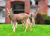 Rural Deer, McCormick Woods, Port Orchard, Washington
