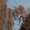 Red-shouldered Hawk, Washington Oaks