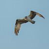 Osprey at Rodman Dam