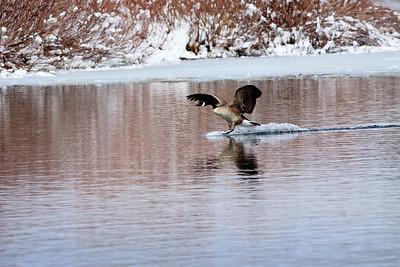 Goose touchdown
