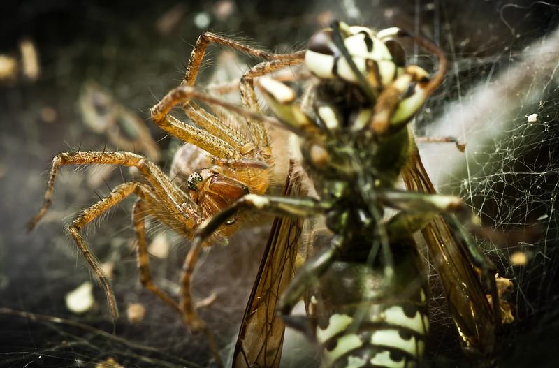 "<b><a href=""http://en.wikipedia.org/wiki/Hobo_spider"" title=""Tegenaria agrestis"">Hobo spider</a></b>"