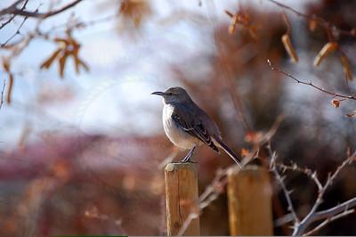 Northern Mockingbird (Nevada)