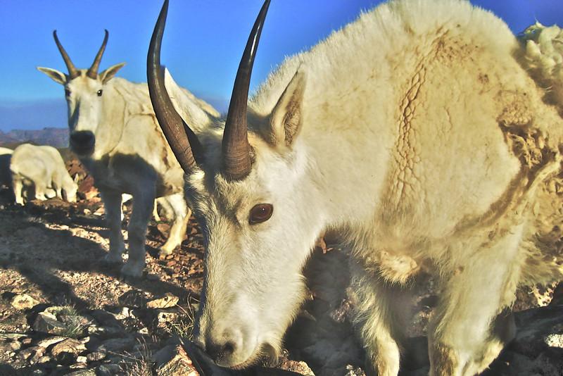 Beartooth Mountain Goats,