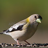 Female Evening Grosbeak (breeding season)