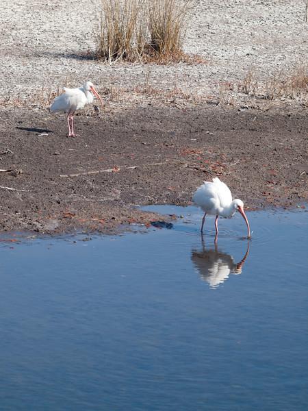 White Ibis Merritt Island
