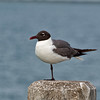 Fort De Soto Laughing Gull